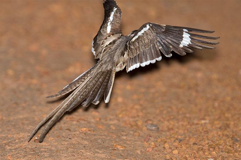 Tailed Nightjar Nightjar With a Long Tail