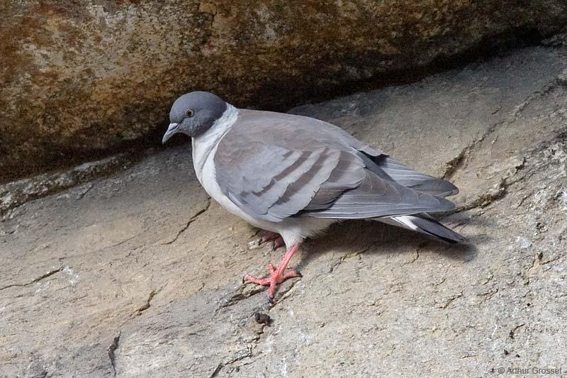 Отряд голуби. Самый редкий - белогрудый голубь.