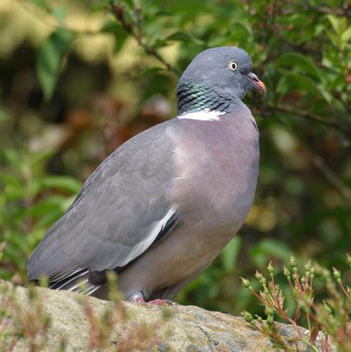 Woodpigeon - Columba palumbus