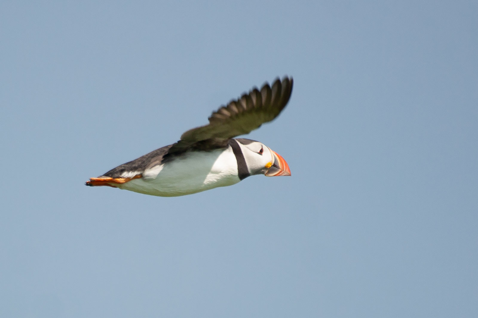 The Atlantic Puffin is...