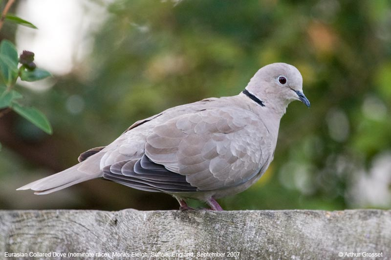 Image result for the collared dove