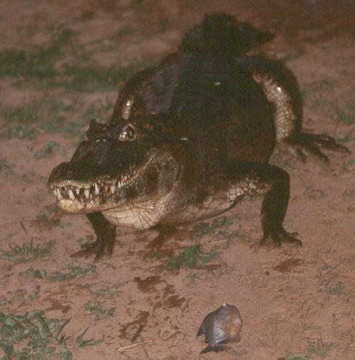 What are crocodilians? Caiman%201351