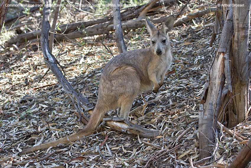 Wallaroo Australia  City new picture : Common Wallaroo, Wilpena Pound, South Australia, March 2006 click ...