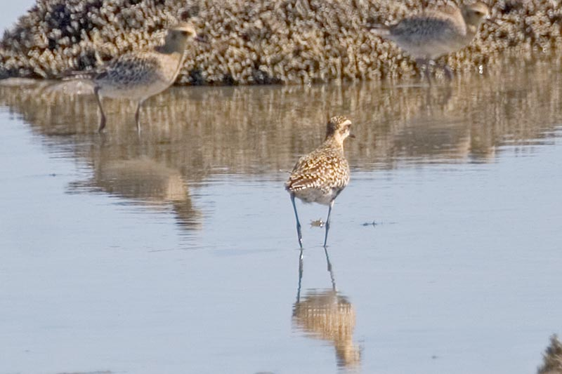 Pacific Golden Plover, The Coorong, SA, Australia, March 2006 - click ...