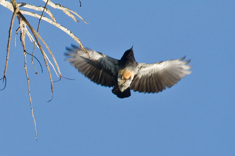 Swallow Wing 9