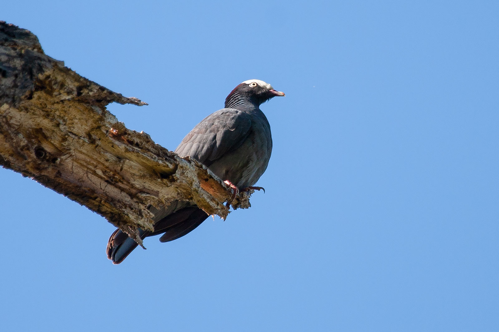 White crowned pigeon - photo#19