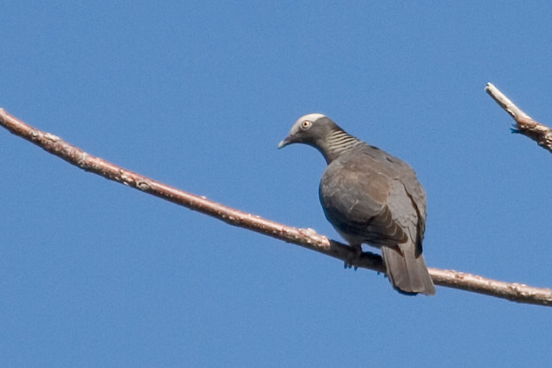 White crowned pigeon - photo#18
