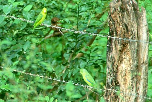 Winged Parrotlet Blue-winged Parrotlet
