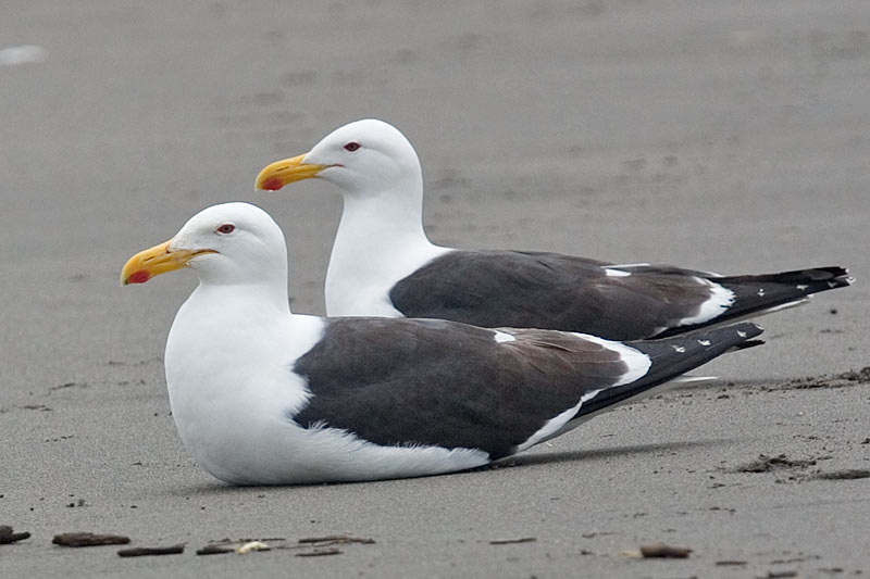Larus Dominicanus It has a mainly white body