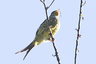 Swallow-tailed Cotinga