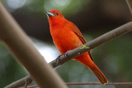 Male Lowland Hepatic Tanager  Hepatic Tanager
