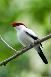 Araripe Manakin, Chapada do Araripe, Ceará, Brazil, October 2008 - click to access this species' page