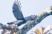 Roadside Hawk, Santa Marta Mountains, Magdalena, Colombia, April 2012 - click for larger image