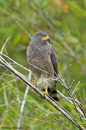 Roadside Hawk, Cerro Montezuma, Risaralda, Colombia, April 2012 - click for larger image