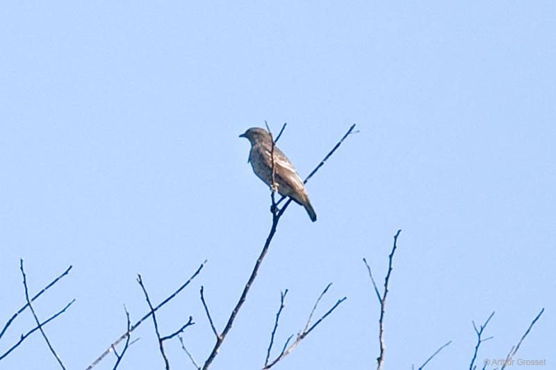 Winged Cotinga Female White-winged Cotinga